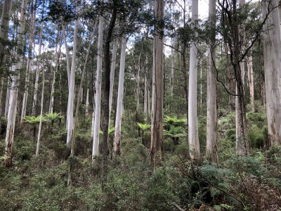 A photo of a stand of tall gum trees.
