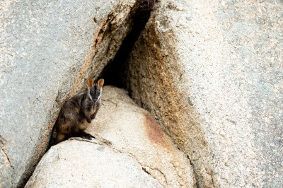Southern Brush-tailed Rock-wallaby